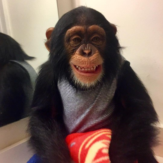 (Picture: Zoological Wildlife Foundation Miami) This lovable chimpanzee could not hide his excitement after he was reunited with the two human parents who raised him after he was left to die by his mother. Limbani was seen drinking through a straw when he hears someone call his name from behind. The ape then turns around to see Jorge, one of the people who helped raise him. Limbani cannot help but smile and shout as he jumps into Jorge's arms and gives him a hug.