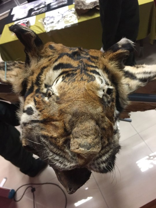 "This handout picture from Malaysian Wildlife Deparatment taken and released on July 6, 2018 shows seized head of critically endangered Malayan tiger during a press conference in Kuala Lumpur. Malaysian wildlife officers arrested six Vietnamese suspected poachers and seized a large cache of animal parts, including skins of the critically endangered Malayan tiger, during a raid this week, officials said on July 6. / AFP PHOTO / MALAYSIAN WILDLIFE DEPARTMENT / Beatrix SIM / XGTY - RESTRICTED TO EDITORIAL USE - MANDATORY CREDIT ""AFP PHOTO / MALAYSIAN WILDLIFE DEPARTMENT"" - NO MARKETING NO ADVERTISING CAMPAIGNS - DISTRIBUTED AS A SERVICE TO CLIENTSBEATRIX SIM/AFP/Getty Images"