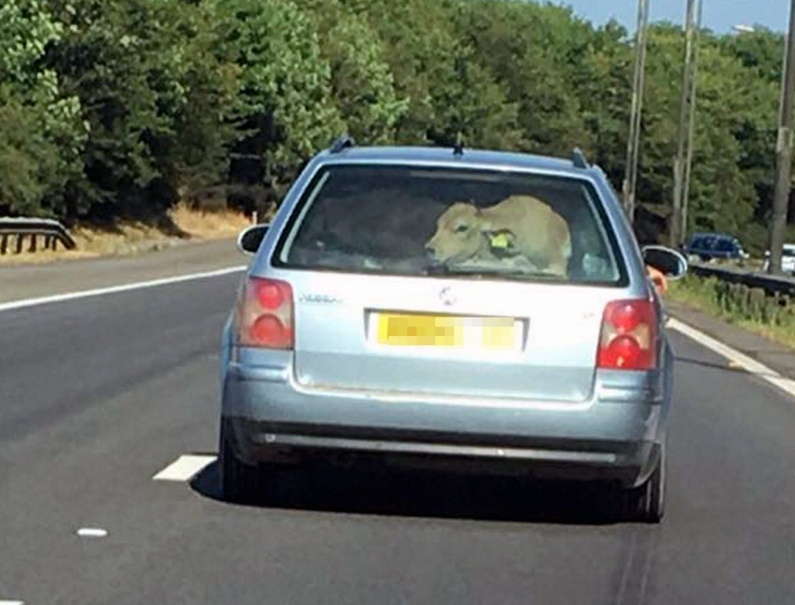 "Pictured: A picture of a young calf is seen at the back of a VW Passat estate car on the M4 motorway near Swansea, Wales, UK. 06 July 2018 Re: South Wales Police are investigating after reports a cow was seen in the back of a car on a motorway. Motorists were stunned after apparently seeing the large animal in the light blue 04 reg Volkswagen Passat on Friday evening. Police officers were looking into whether any road traffic or animal welfare offences occurred. The RSPCA said it was ""extremely concerned"" about the images. One image shows the car going past junction 42 of the eastbound carriageway. An RSPCA spokeswoman said: ""This is a completely unacceptable way to transport a large, farm animal. Penalties for overloading a car include fines of up to ?300 as well as three penalty points."