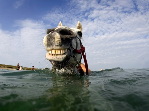 Photos of horses swimming in the sea off Cornwall are majestic