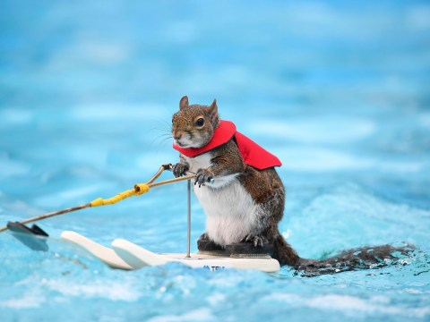 This weekend, Twiggy the water-skiing squirrel shows off his skills for the last time