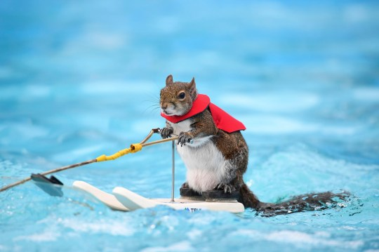 Twiggy, the water-skiing squirrel, performs outside U.S. Bank Stadium as part of X Fest in Minneapolis, Thursday, July 19, 2018. The squirrel, the 7th in a line of Twiggies going back to the late 1970s, is on a farewell tour due to the retirement of its owner, Lou Ann Best. She started performing with water-skiing squirrels with her husband, Chuck Best, who died in a downing accident in 1997. Lou Ann spends a substantial part of her performance educating spectators about water safety. (Aaron Lavinsky/Star Tribune via AP)