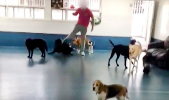 PIC FROM CATERS NEWS - (PICTURED STAFF KICK ONE OF THE DOGS) - Shocking footage from a dog daycare centre in Sheffield appears to show staff members kicking the pooches in their care and launching toys at their heads. Former staff at The Doggy Den in Sheffield shared the footage, which they claim they filmed secretly, on social media to lift the lid on the horrific abuse.In one of the videos, at least 20 dogs fill a room at the daycare centre on Little London Road with only two members of staff watching over them. SEE CATERS COPY