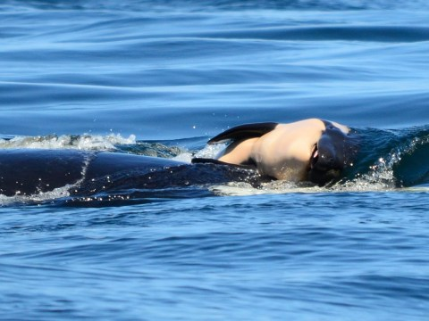 Mourning mother whale is so sad experts fear she may die from grief