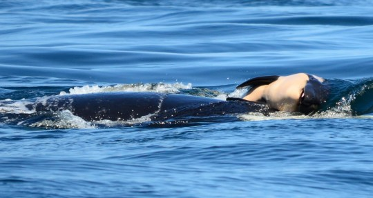 In this photo taken Tuesday, July 24, 2018, provided by the Center for Whale Research, a baby orca whale is being pushed by her mother after being born off the Canada coast near Victoria, British Columbia. The new orca died soon after being born. Ken Balcomb with the Center for Whale Research says the dead calf was seen Tuesday being pushed to the surface by her mother just a half hour after it was spotted alive. Balcomb says the mother was observed propping the newborn on her forehead and trying to keep it near the surface of the water. (Michael Weiss/Center for Whale Research via AP)