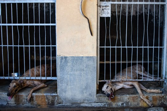 TOPSHOT - This picture taken on July 26, 2018 shows greyhounds inside kennels at the shut down Canidrome Club in Macau, which was Asia's only legal dog-racing track. First opened in 1931, the track's closure on July 21, 2018 was a victory for those who had spent years criticising its treatment of the animals. / AFP PHOTO / Philip FONG / TO GO WITH Macau-sport-animal-greyhounds,Focus by Laura MANNERINGPHILIP FONG/AFP/Getty Images