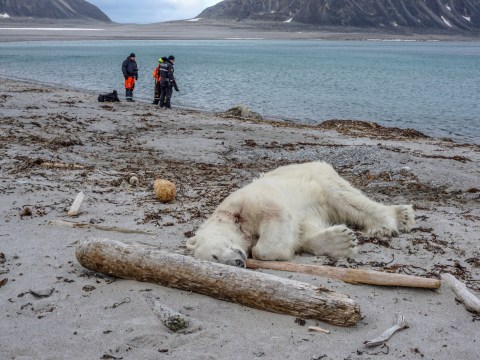 Polar bear shot dead after it launched surprise attack on guard