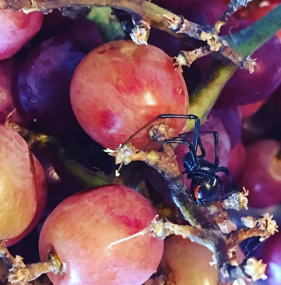 Woman finds two black widow spiders inside bag of supermarket grapes