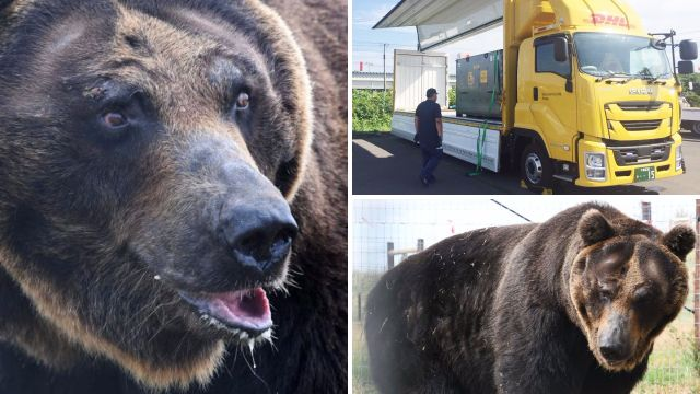 Four endangered bears fly from Japan to Doncaster to start their new lives