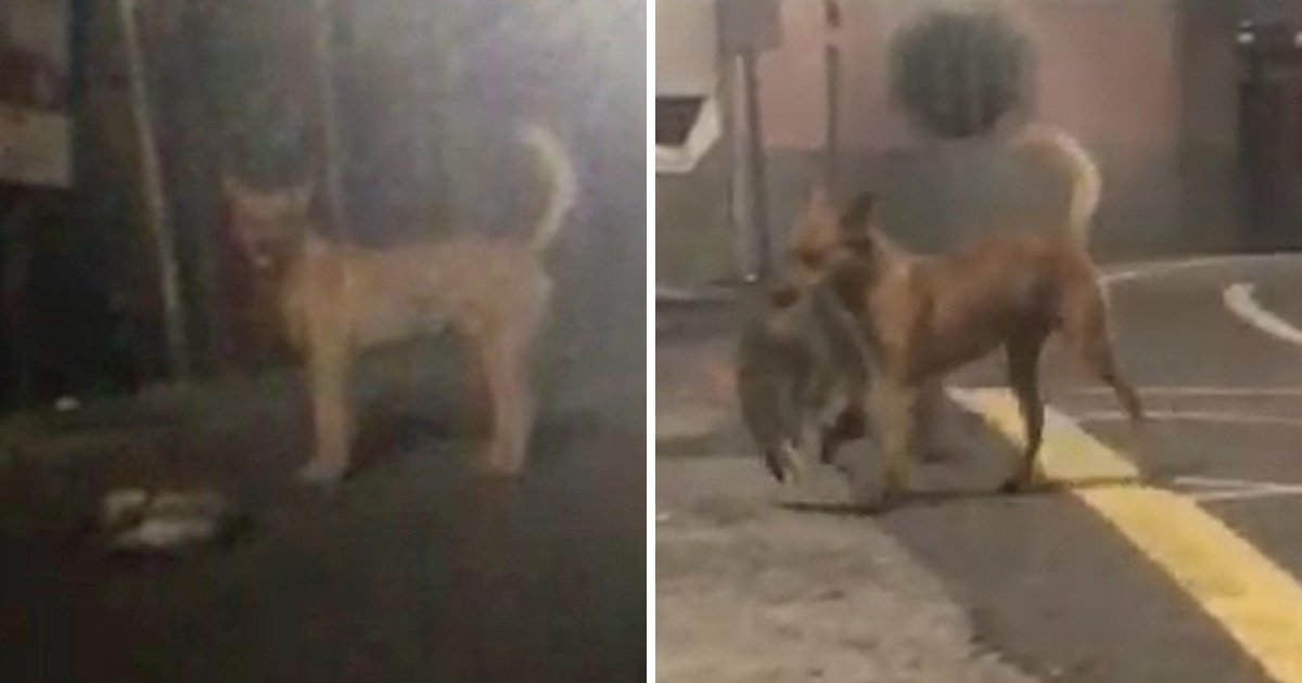 Stray dog carries dead cat to side of the road to try and protect it