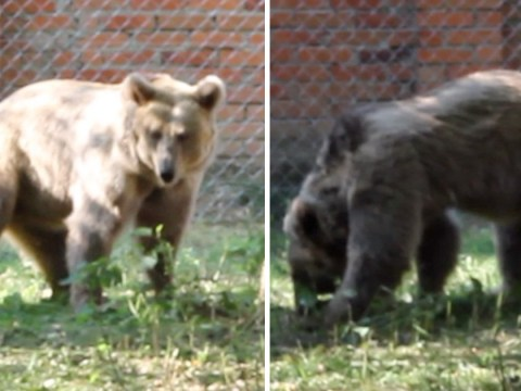 Bear finally given freedom after nearly 20 years of being forced to perform in circus