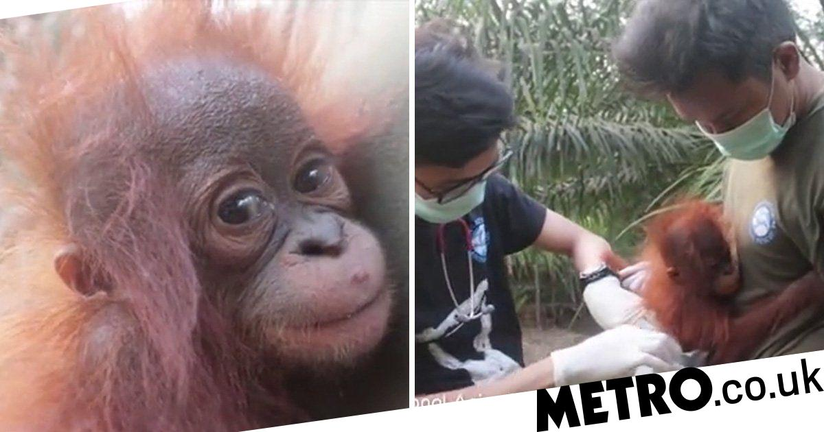 Heartbreaking moment orphaned orangutan is rescued from palm