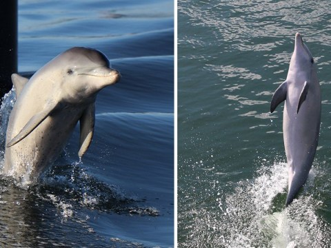 Dolphin teaches others how to walk on their tail after being released into the wild