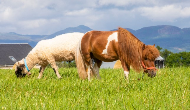 """Ten-year-old stallion falabella horse """"Indi"""" plays with sheep as he goes with Ali Thom on checks of the valley black nose sheep at Arnbeg Farmstay in Stirlingshire. July 31, 2018. See CENTRE PRESS story CPHORSE."""
