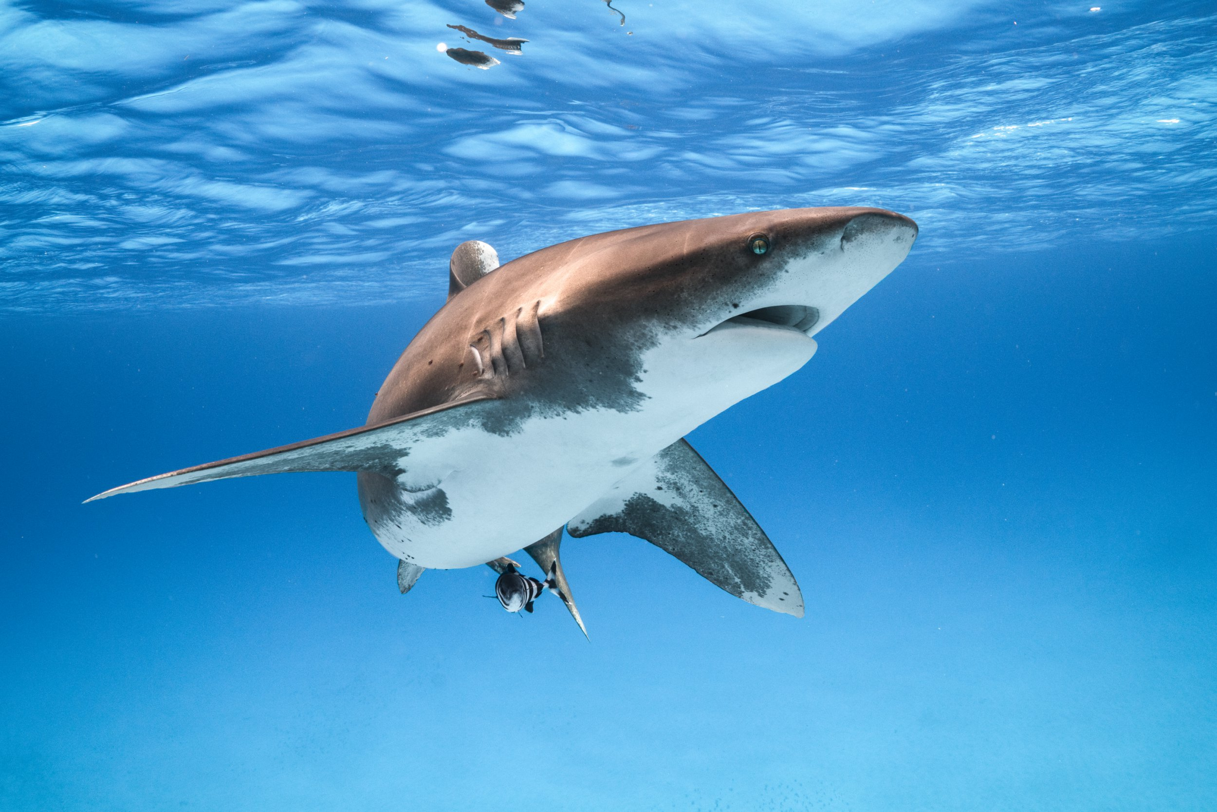 An Oceanic Whitetip Shark makes a close and curious pass.