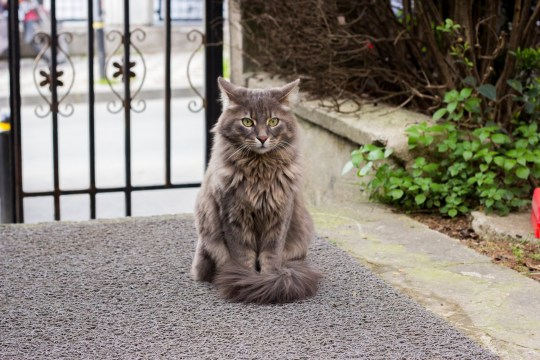 Largest domestic cats you can adopt – and things you should