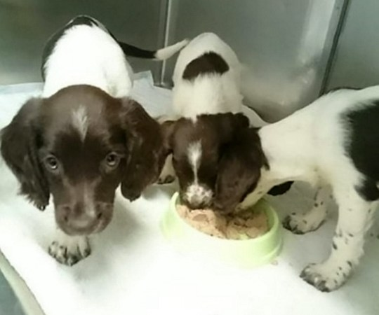Three adorable puppies were abandoned and found dumped in a dustbin. See NATIONAL story NNBIN. The springer spaniels were spotted by a member of the public after they were thrown in the bin outside a property in Esher, Surrey. The helpless pups were rescued by a dog warden from Elmbridge Borough Council on Monday and taken to a vet in Woking, Surrey. They were found to be in good health and placed in loving new homes.