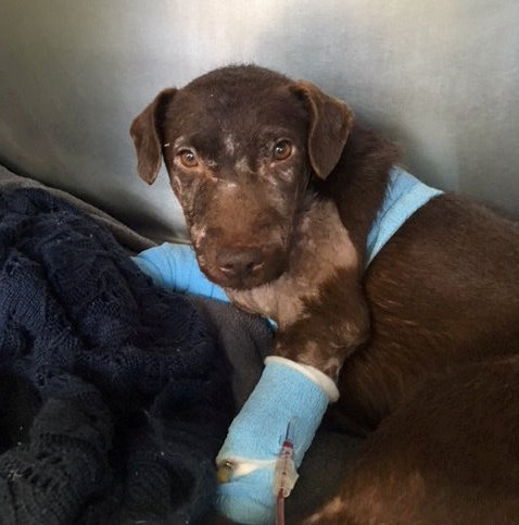 Snickers the dog. See NATIONAL story NNBAITING; A tiny little terrier called Snickers was found covered in horrific injuries after cruel scumbags used her for badger baiting. The cruel bloodsport nearly killed poor Snickers, who is thankfully now being nursed back to health.