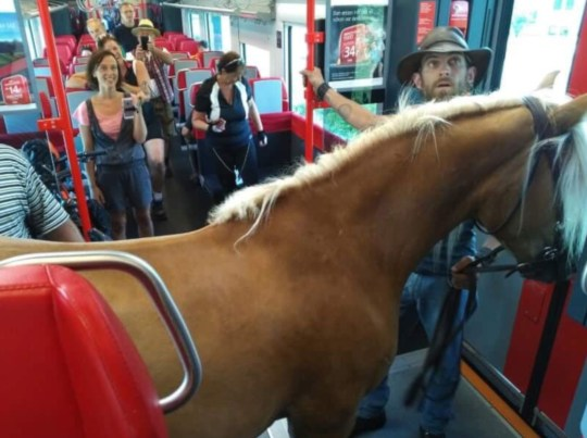 """Pic shows: Passenger photos of the horse on board the train This is the moment three passengers board a train with a horse and they even went to the trouble of buying it a ticket. According to local media, the trio boarded an Austrian Federal Railways train with Frieda the horse in the town of Bad Mitterndorf in the south-eastern Austrian state of Styria. They posted the video of their unusual commute on YouTube where it has been viewed nearly 50,000 times. In the footage, the handlers explain that they need to make a long journey with the horse and wanted to use a """"resource-efficient"""" form of transport. They also said that they wanted to give the animal a comfortable ride because of the summer heat. According to reports, the trio was unsuccessful boarding a first train but managed to get onto the next one. However, the driver quickly noticed them and asked them to leave. They had even bought the horse a ticket, but joked that it may have been better to pay for two fares as the horse has two pairs of legs. Some people thought it was a marketing stunt, but Austrian Federal Railways spokeswoman Julianne Pamme told local media that they only found out about the incident after the video was posted online. The company confirmed that """"naturally, the transportation of horses on trains is not allowed"""". The statement also said that Frieda had to leave the train despite being """"tame"""". Netizen ???Joachim J. Janezic??? joked: """"How much horse power does the train have with and without Frieda?"""""""