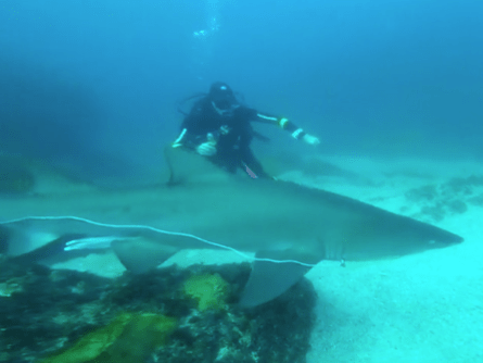 Scuba diver saves shark's life by pulling plastic netting from its mouth