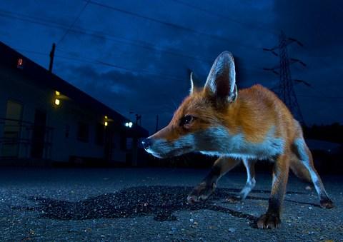 Inside the secret world of London's urban foxes