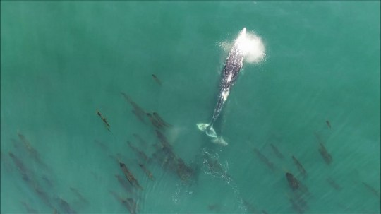 Here's the moment a 36-tonne gray whale takes a poop | Metro
