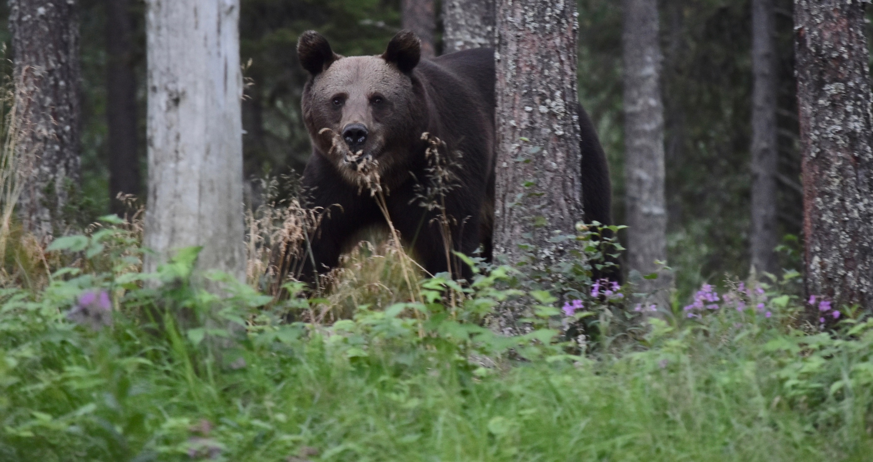 Finnish Lapland in the summer is the perfect spot for bear watching and white water rafting