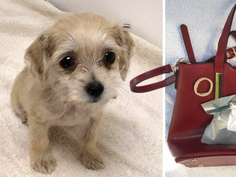 Puppy dumped in handbag had paws tied together with hairband