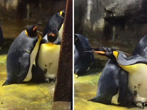 Gay penguins kidnap baby from straight parents at zoo