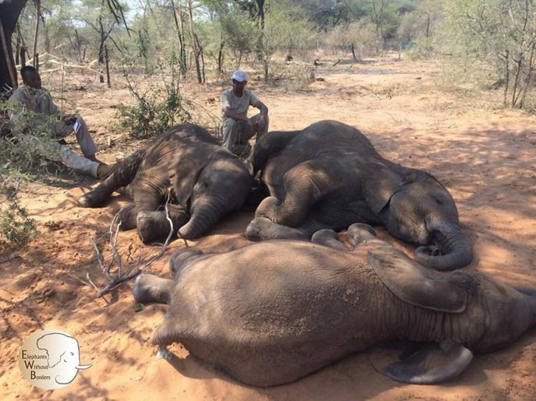 Bodies of 87 elephants fount in Botswana Elephants without borders