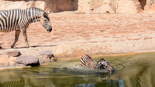 Pic Shows: The newborn zebra; This is the dramatic moment a newborn zebra is saved from drowning by quick-thinking zoo workers as its concerned mummy watches from the water???s edge. The incident took place at the Valencia Bioparc in the eastern Spanish region of the same name. According to reports, the mum zebra, called La Nina (The Girl), was in labour in her enclosure and zoo workers were monitoring everything. They were also quick to act when the newborn zebra, after the umbilical cord was cut, fell into a water body in the enclosure and could not get out. In video footage of the incident, the young foal is seen stumbling into the water and making a distressing panicked sound. The poor animal keeps slipping under the water as two zookeepers are quick to react and approach the newborn. Its worried mother looks on from the water???s edge, trying to make her way into the water body. As the floundering animal disappears under the water, the two men wade to her position and calmly take both ends of the foal. At that point, the protective mum steps into the water and goes for the two men cradling her newborn. One of the keepers splashes water into her face to keep her away. They manage to drop the foal onto dry land and quickly get away before the panicked mum can get to them. However, when she sees her youngster safe on the ground, she shows it affection and the crowd of onlookers cheer. After a quiet night, the newborn male and mother are both reportedly well. La Nina arrived to Valencia Bioparc in 2007 from Zoo Halle in Germany. The father Zambe arrived from France in 2012.