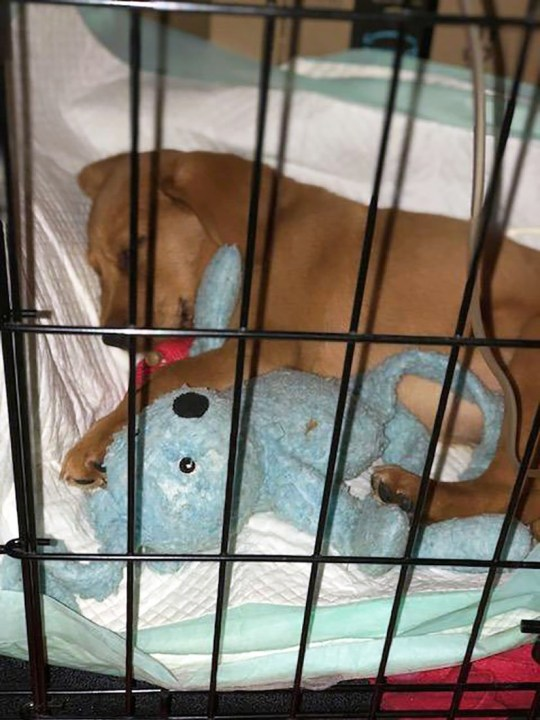 WESSEX NEWS AGENCY Jim Hardy email news@britishnews.co.uk mobile 07501 221880 STORY CATCHLINE: PARVO A disease which kills adorable puppies is sweeping Britain - and cheapskate breeders are helping it to spread. Pic shows puppy Otter with his favourite teddy after being treated for ??4,000 to beat the disease