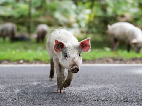 Hundreds of pigs released into the New Forest as Pannage season starts