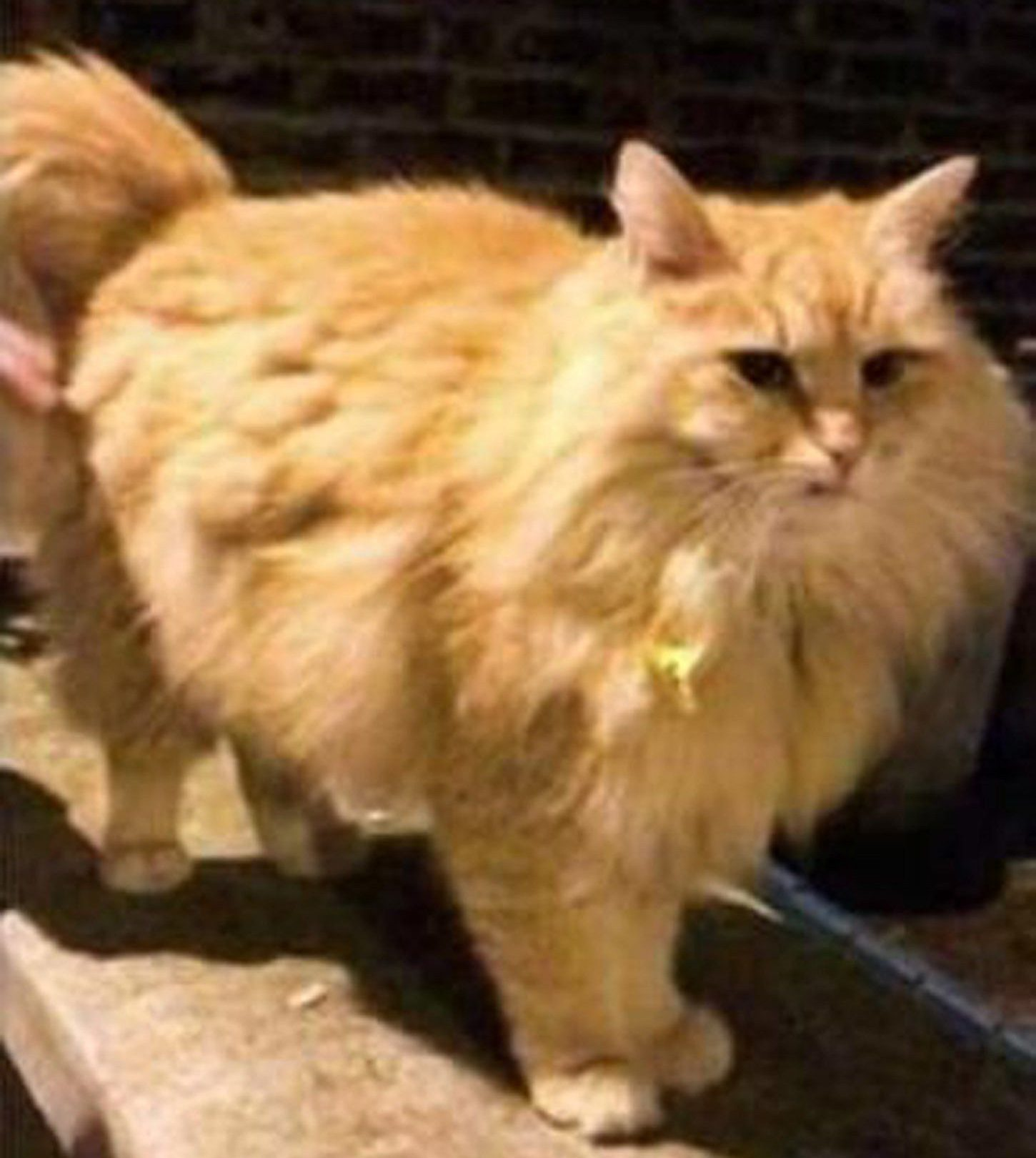 Undated handout photo issued by the Metropolitan Police of Mr Muk, a large Siberian Forest ginger cat, who was grabbed outside his owner's home in Petherton Road, Islington, on July 30, Scotland Yard said. PRESS ASSOCIATION Photo. Issue date: Monday September 10, 2018. Police appealing for help tracking down a cat-snatcher have released a photo of a man they wish to question. See PA story POLICE Cat. Photo credit should read: Metropolitan Police/PA Wire NOTE TO EDITORS: This handout photo may only be used in for editorial reporting purposes for the contemporaneous illustration of events, things or the people in the image or facts mentioned in the caption. Reuse of the picture may require further permission from the copyright holder.