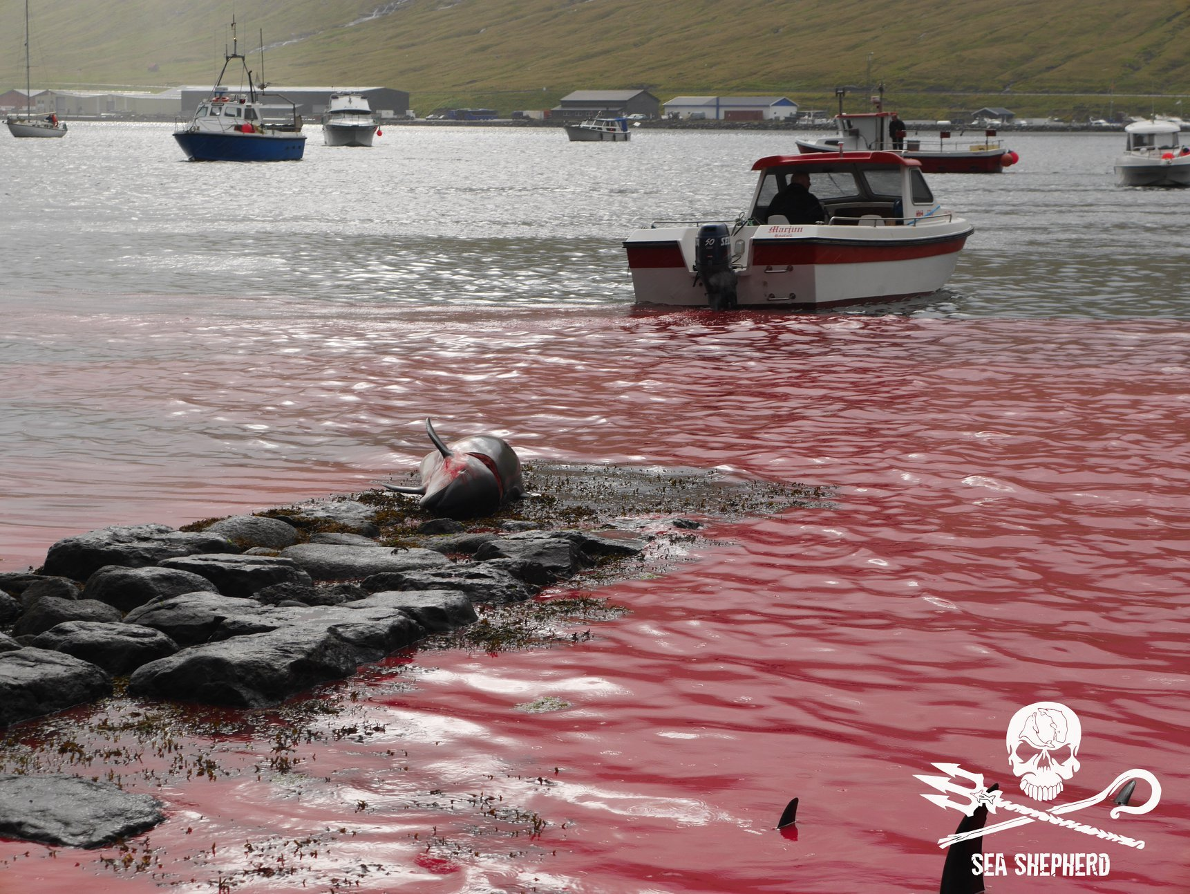 Grindadr?p of Atlantic White Sided Dolphins & Pilot Whales at Hvalvik in the Faroe Islands on the 11th September 2018 Photos by Sea Shepherd UK's volunteer crew on Operation Bloody Fjords 2018