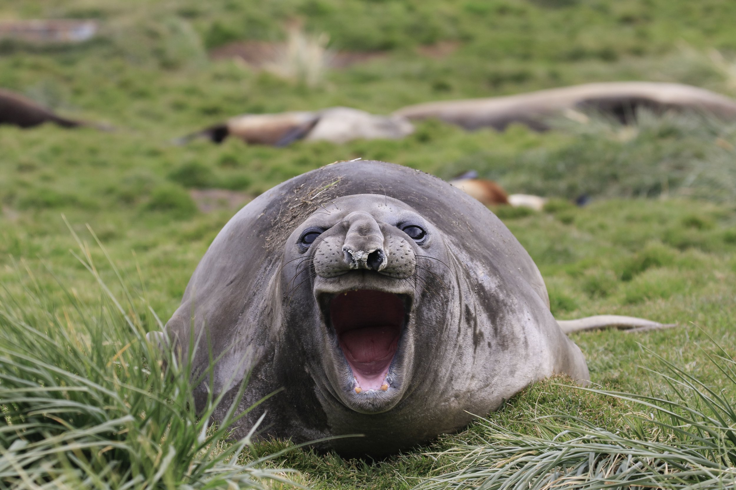 *** EXCLUSIVE *** SEPTEMBER 2018: Comedy Wildlife Photography Award Finalist, a seal with its mouth open, September 2018. FROM WALTZING polar bears, to a hippopotamus that should have gone to Specsavers, the world?s funniest animal awards have their finalists - and this year you can vote for your favourite. Out of thousands of entries, these are the final forty-one which have made the cut - and they are guaranteed to make you chuckle. The Comedy Wildlife Photography Awards were founded by wildlife photographers and enthusiasts Tom Sullam and Paul Joynson-Hicks. The competition works alongside the Born Free Foundation to highlight a more serious matter; the importance of conserving our planet?s beautiful wildlife. Wildlife photographer and co-founder Tom Sullam said: ?In just three years this competition has gone from hilarious to utterly ridiculous humour - all provided to us by these fantastic animals.? PHOTOGRAPH BY Amy Kennedy / CWPA / Barcroft Images