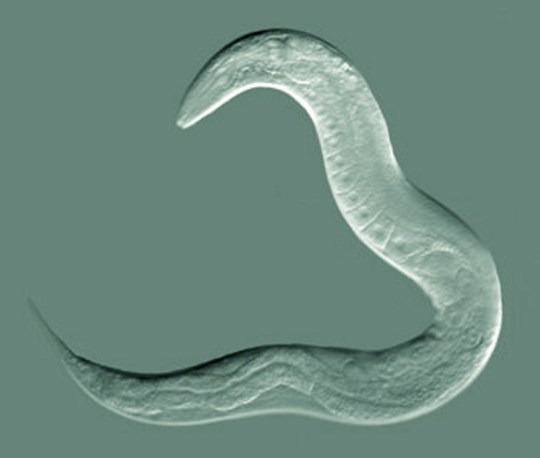 Caenorhabditis elegans asla known as C Elegans the nematode roundworm discovered in compost in Bristol in the 1950's that has become one of the most studied organisms on the planet. Scientists from the UK are now sending hundreds of the little creatures into space. See SWNS story SWWORMS; A species of worm found in a rubbish tip will be blasted into space in the UK's first experiment at the International Space Station. Hundreds of one millimetre long roundworms will be launched into orbit by scientists hoping to analyse their rate of spaceflight-induced muscle loss. Spaceflight is an extreme environment that causes many negative health changes to the body and astronauts can lose up to 40 per cent of their muscle after six months in space. The health impact is viewed by scientists as an example of the ageing process on earth - and could even help improve treatment of diabetes.