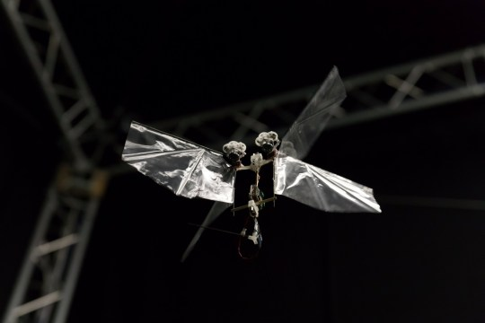 """The Delfly Nimble in flight. Embargoed 19:00 BST Thursday (13-SEP-2018 14:00 ET) A flying robot with flapping wings that can dart through the air like an insect has been unveiled by scientists. See story NNROBOT. It can hover, dart left or right and even do a loop the loop or barrel roll. Like a real insect, the wings beat at 17 times per second to provide lift and can speed along at over 15 miles an hour. Developed by Dutch scientists, DelFly Nimble is based on the fruit fly and promises to revolutionise drone design and our understanding of insect flight. The first autonomous, free-flying and agile flapping-wing robot was developed by TU Delft researchers from the Micro Air Vehicle Laboratory (MAVLab), in collaboration with Wageningen University & Research. It is so far unmatched in its performance, and yet has a simple and easy-to-produce design. Its flapping wing not only generate the lift force needed to stay airborne but also control the flight via minor adjustments in the wing motion. The control mechanisms have proved to be highly effective, allowing it not only to hover on the spot and fly in any direction but also be very agile like the fruit fly despite being more than 55 times larger. First author and main designer of the robot Dr Matej Karasek said: """"The robot has a top speed of 25 km/h and can even perform aggressive manoeuvres, such as 360-degree flips, resembling loops and barrel rolls."""