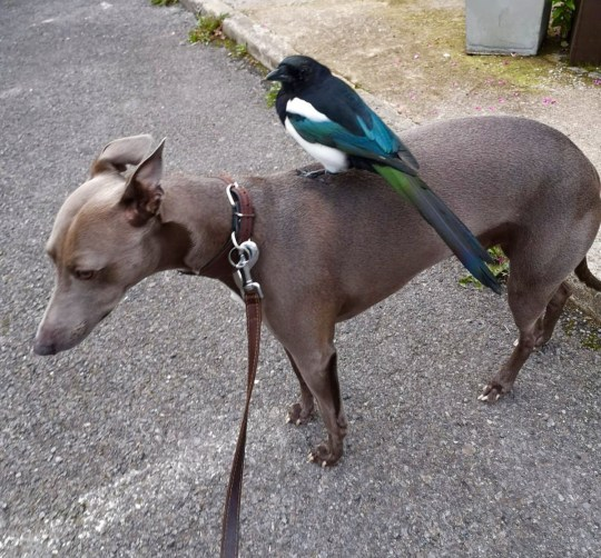 Sent under embargo - no use before 15.00BST September 20 2018; Steve Rostron and Janine MacLean's tame magpie Mike with their dog Boo. See Ross Parry story RPYMAGPIE; A magpie and a whippet have formed an unlikely friendship which sees them do everything together - from going on daily walks to sharing food and even a bed. Mike the magpie and Boo Radley the whippet's unusual friendship first blossomed after distressed Mike was found four months ago floundering on his own at just two weeks old. Boo?s owner Steve Rostron was out on an evening walk when the inquisitive pup sniffed out tiny Mike behind a telephone junction box. Artist Steve, 44, believed poorly Mike may have fallen out of his nest from a tree above and was worried he might not survive.