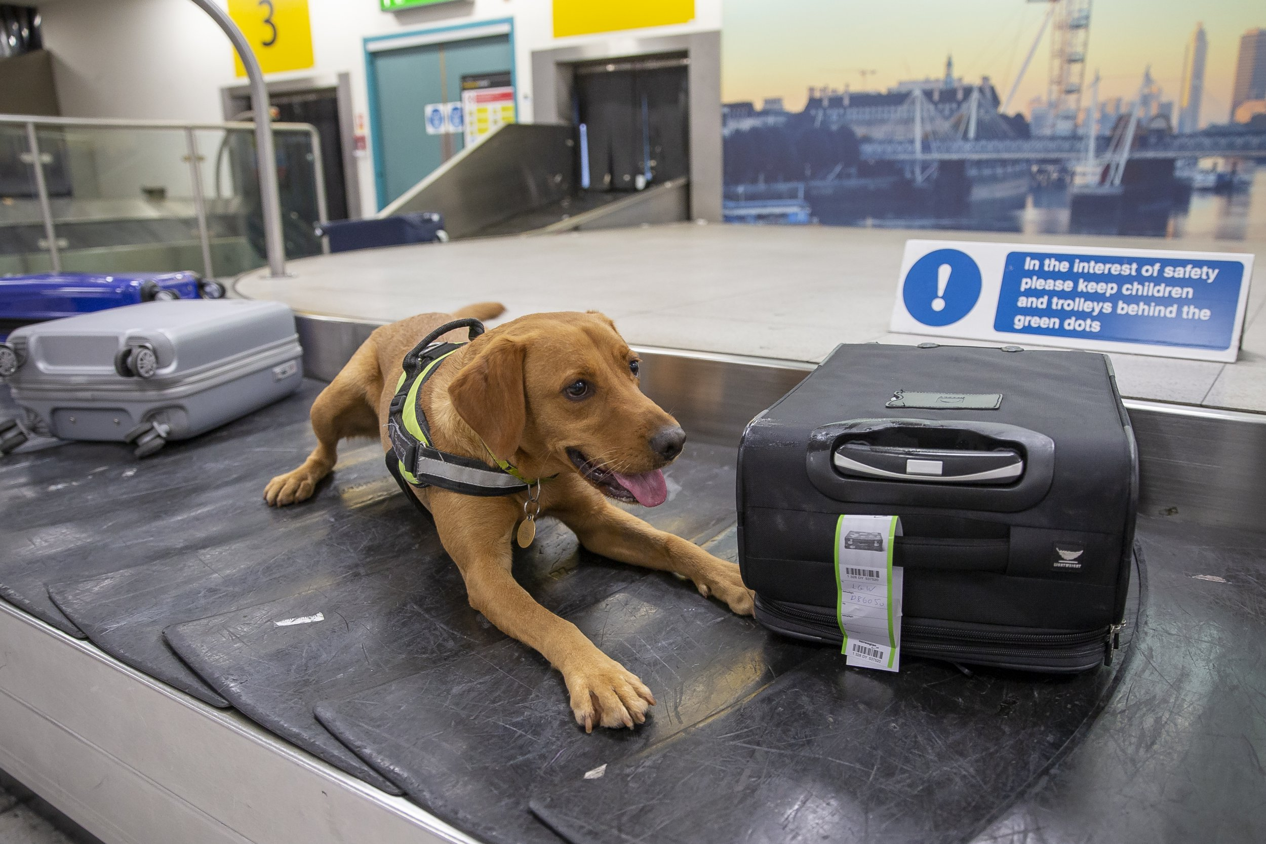 **Embargoed until 1pm on 23/09/18. Online Usage fee ?75 per photo. Online set fee ?300*** *** Print fee ?150 per photo** Border Force dog handler Liz Martinez puts sniffer dog Honey to work in the baggage hall. behind the scenes of London Gatwick Airport's south terminal and cargo areas with UK Government agency Border Force.