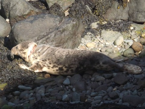 Devastating pictures show seal cut by plastic on Wales beach
