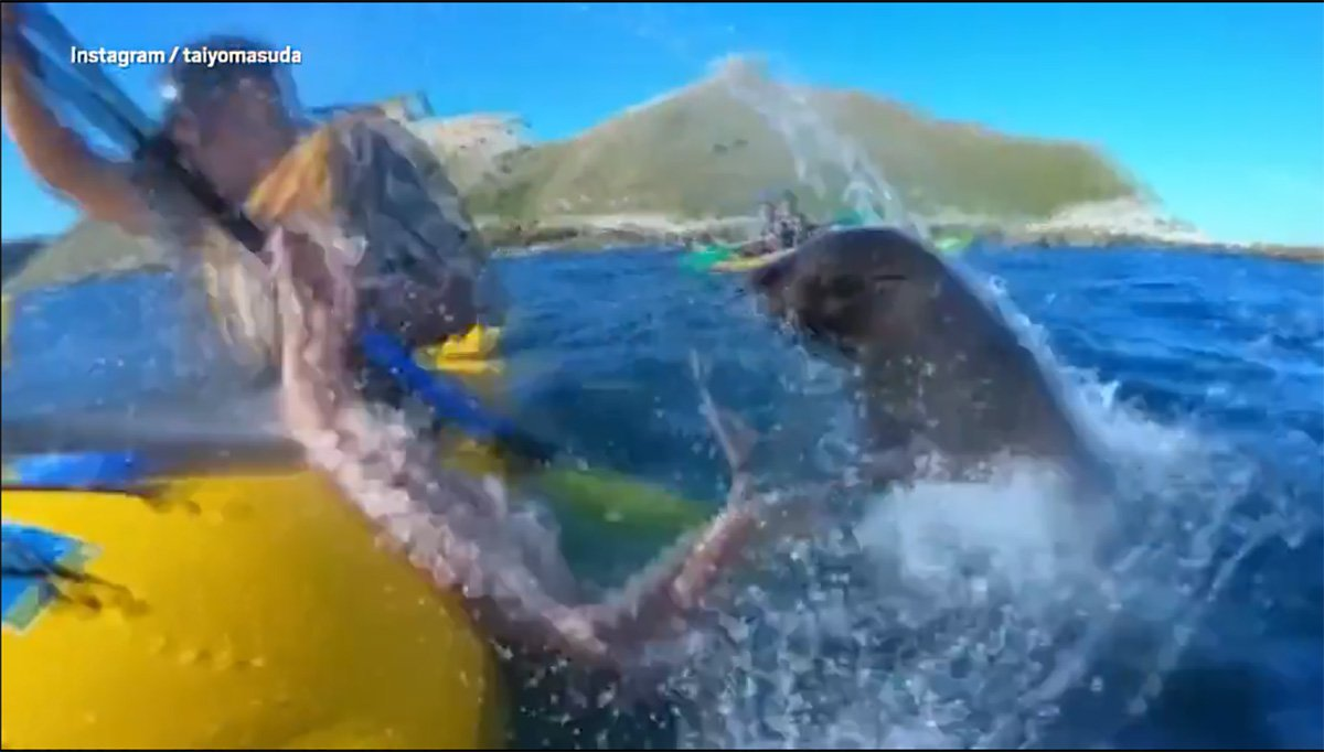 Seal slapped kayaker with octopus after mistaking him for a rock METRO GRAB taken from: https://videos.metro.co.uk/video/met/2018/09/26/7843449226138110214/1024x576_MP4_7843449226138110214.mp4 Credit: Taiyomasuda/Instagram
