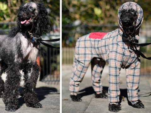 Dog who lost all his fur to rare condition wears Burberry-style coat now