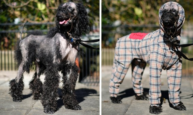 """Fraser the poodle who needs to go out in a full body suit due to an ailment called Sebaceous Adenitis, a rare type of inflammatory disease that affects the skin and glands of young and middle-aged dogs. See NTI copy NTISUIT: A dog who lost his fur because of a rare genetic condition is once again """"best in show"""" after having a specially made Burberry body suit. Fraser, a four-year-old black Standard Poodle, went bald because of an ailment called Sebaceous Adenitis, a rare type of inflammatory disease that affects the skin and glands of young and middle-aged dogs. But now he??s causing a stir in his home town of Cheadle, Staffs, after striding out in his new body suit made especially for him by Aileen Perry, 54, from Elgin, Scotland."""