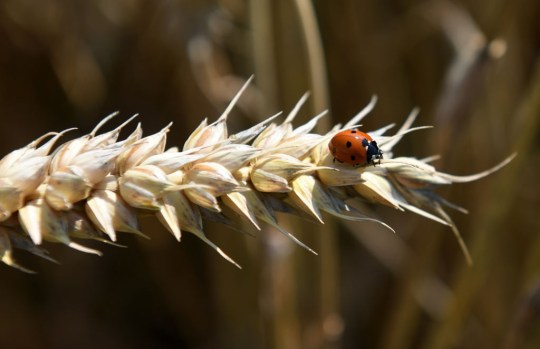 Why are there so many ladybirds and how to get them out of