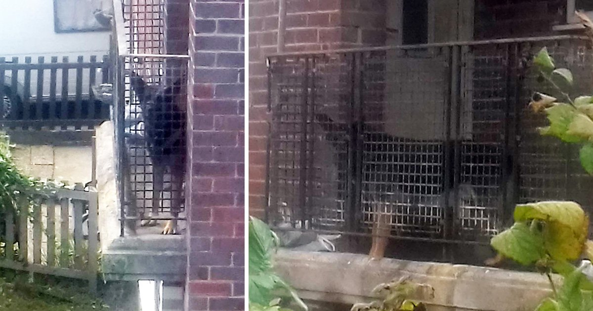 Shane the German Shepherd 'forced to live on tiny balcony in own faeces'