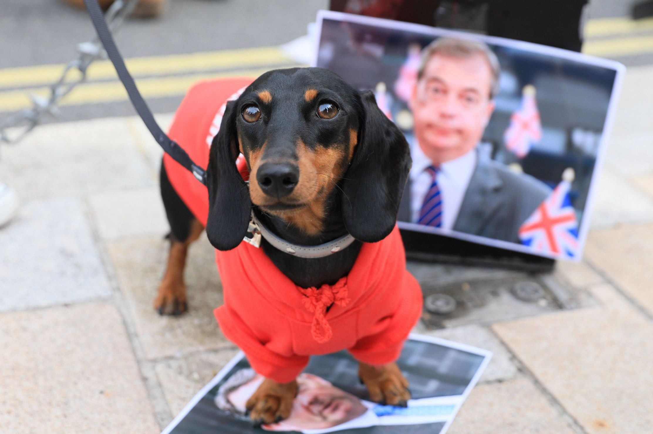 Mandatory Credit: Photo by Imageplotter/REX (9916868u) Mildred the Sausage, a dachshund, uses a 'pee station' with Nigel Farage's images. The Wooferendum dog march, London, UK - 07 Oct 2018 Dogs and their owners protest in the 'Wooferendum' against Brexit along a route in Westminster via Trafalgar Square, Whitehall and Parliament Square. The march is thought to have attracted around 5000 dogs and owners, as well as many who have joined without animals, some in fancy dress and with European flags and placards. Wooferendum is organised by founder Daniel Elkan.