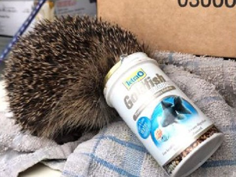 Distressed hedgehog found with fish food pot stuck on its head