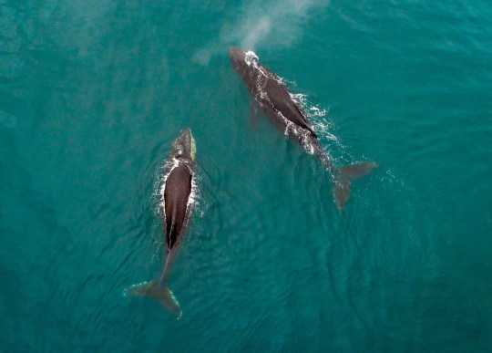 KAMCHATKA TERRITORY, RUSSIA - JULY 11, 2018: Humpback whales in Avacha Bay off Kamchatka Peninsula on Russia's Pacific coast. Yuri Smityuk/TASS