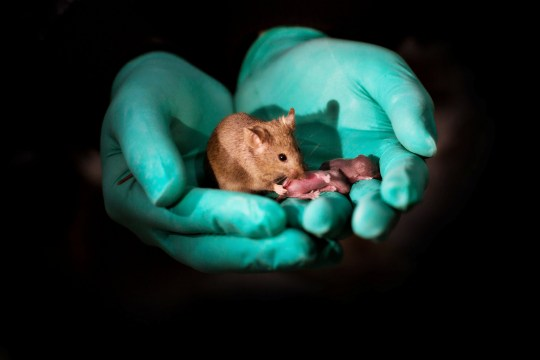 """***EMBARGOED UNTIL 16.00 BST, THURS OCT 11TH (11.00 ET)*** This image shows a healthy adult bimaternal mouse (born to two mothers) with offspring of her own. See National story NNmice; Mice with two mums have been born using stem cells and gene editing. Researchers at the Chinese Academy of Sciences were able to produce healthy mice with two mothers that went on to have normal offspring of their own. Mice from two dads were also born - but only survived for a couple of days. The study, published in the journal Cell Stem Cell, looked at what makes it so challenging for animals of the same sex to produce offspring - and suggests that some of these barriers can be overcome using stem cells and targeted gene editing. Study co-senior author Dr Qi Zhou said: """"We were interested in the question of why mammals can only undergo sexual reproduction."""